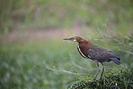 South America, Brasilia, Mato Grosso do Sul, Pantanal, Rufescent Tiger Heron, Tigrisoma lineatum - FOF006536