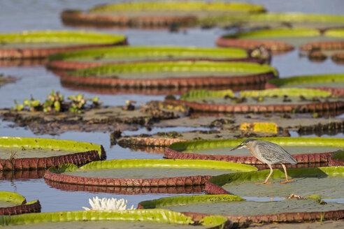 South America, Brasilia, Mato Grosso do Sul, Pantanal, Striated Heron, Butorides striata, on lily pad - FOF006554