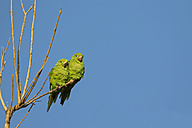 South America, Brasilia, Mato Grosso do Sul, Pantanal, Canary-winged Parakeets, Brotogeris versicolorus - FOF006556