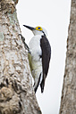 South America, Brasilia, Mato Grosso do Sul, Pantanal, White Woodpecker, Melanerpes candidus - FO006574