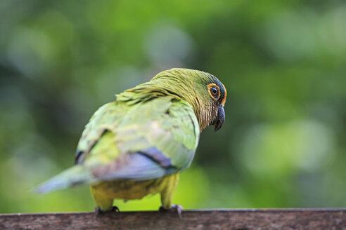 South America, Brasilia, Mato Grosso do Sul, Pantanal, Peach-fronted Parakeets, Aratinga aurea - FO006577