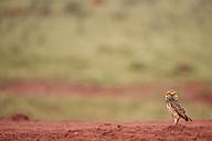 South America, Brasilia, Mato Grosso do Sul, Pantanal, Burrowing Owl, Athene cunicularia - FOF006582