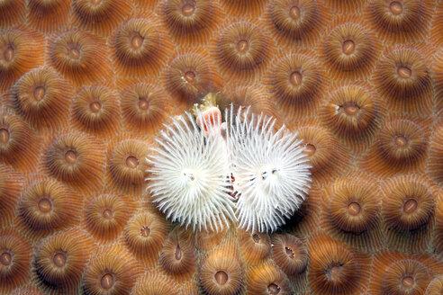 Caribbean, Antilles, Curacao, Westpunt, Christmas tree worm, Spirobranchus giganteus, on False Knob Coral, Montastrea cavernosa - YRF000023