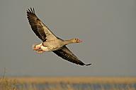 Germany, Schleswig-Holstein, Grey goose, Anser anser, flying - HACF000017