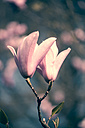 Two magnolia blossoms - SARF000484