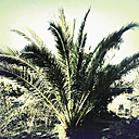 Endemic palm of the Canary Island of La Palma, Spain - SEF000685