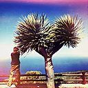 Dragon tree at a viewpoint, Santa Domingo, La Palma, Canary Islands, Spain - SEF000701