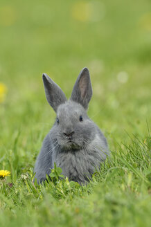 Grey baby rabbit sitting on flower meadow - RUEF001228