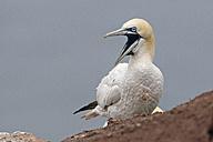 Germany, Schleswig-Holstein, Hegoland, northern gannet - HACF000033