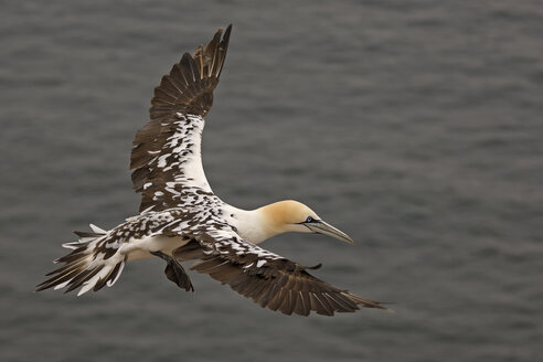 Germany, Schleswig-Holstein, Hegoland, flying northern gannet - HACF000031