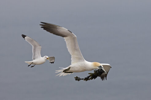 Germany, Schleswig-Holstein, Hegoland, flying northern gannet - HAC000029