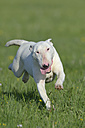 Bull terrier running on meadow - RUEF001225