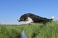 Border Collie jumping over ditch - RUEF001223