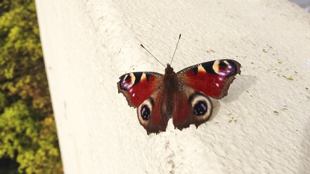 Butterfly (Lepidoptera) on concrete - FBF000348