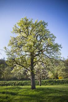 Germany, Baden-Wuerttemberg, Tuebingen, Meadow with scattered fruit trees, Apple tree - LVF001080