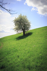 Single tree at sunlight on a meadow - VTF000201