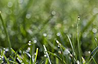 Blade of grass with dewdrop - MELF000007