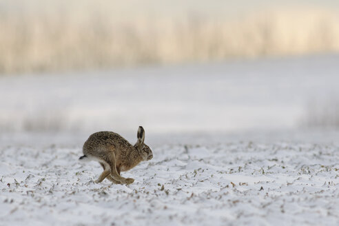 Germany, Schleswig-Holstein, running rabbit, Leporidae - HACF000036
