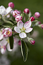 Germany, Hamburg, Area Altes Land, Apple blossoms, Malus domestica, in spring - KRPF000445