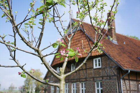 Germany, North Rhine-Westphalia, Petershagen, Apple tree with buds with a traditional Westphalian farmhouse in the background. - HAWF000134