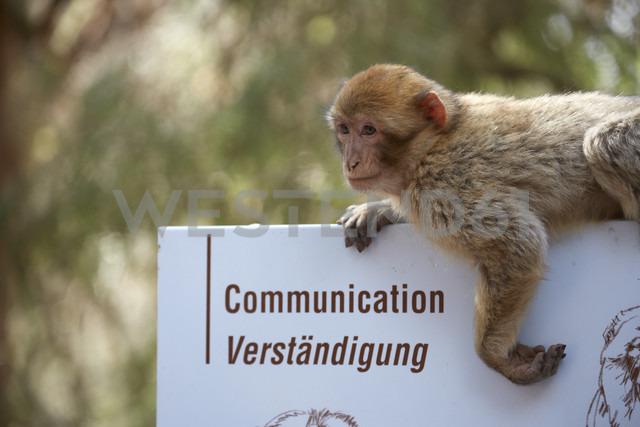 France, Alsace, Kintzheim, La Montagne des Singes, barbary macaque (Macaca sylvanus) hanging on sign - DHL000415