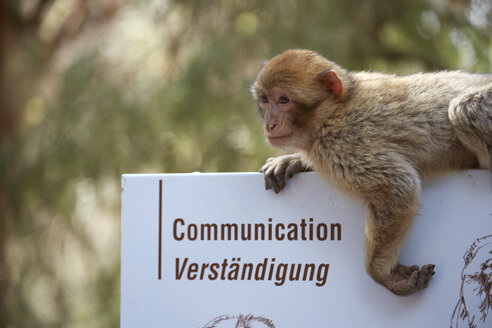France, Alsace, Kintzheim, La Montagne des Singes, barbary macaque (Macaca sylvanus) hanging on sign - DHL000415
