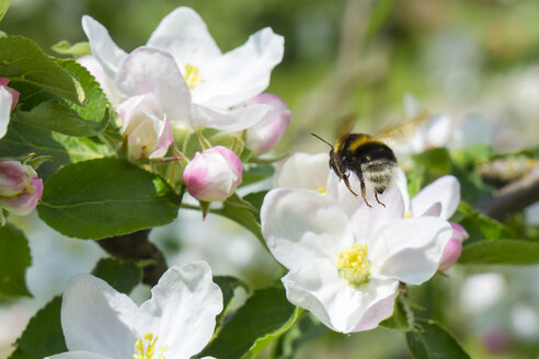 Germany, Hesse, Kronberg, Bumblebee at white blossom of apple tree - WEF000068
