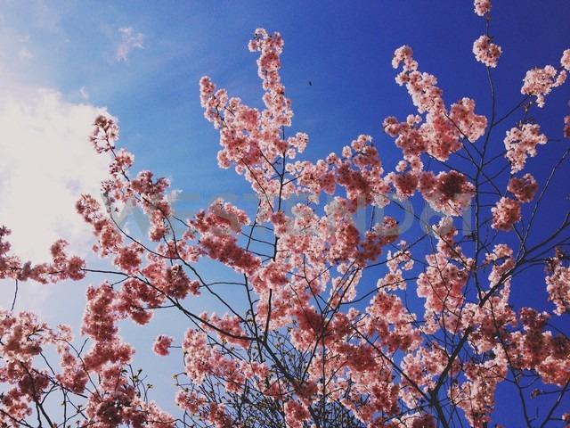 Cherry blossoms (Prunus avium Latin), Munich, Germany - RIMF000225