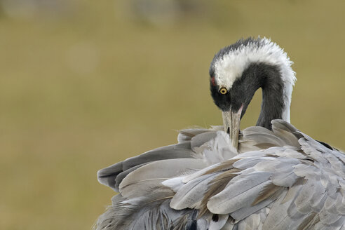 Germany, Mecklenburg-Western Pomerania, Common crane, Grus grus, preening - HACF000053