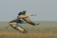 Germany, Mecklenburg-Western Pomerania, Common crane, Grus grus, Adult and young animal, flying - HACF000048