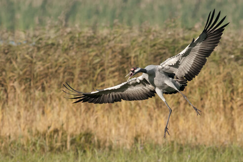 Germany, Mecklenburg-Western Pomerania, Common crane, Grus grus - HACF000058
