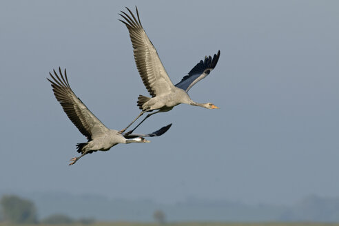 Germany, Mecklenburg-Western Pomerania, Common cranes, Grus grus, Adult and young animal, flying - HACF000061