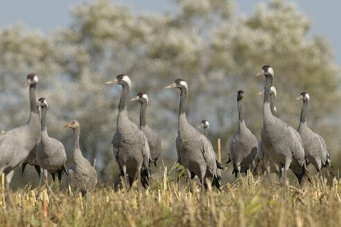 Germany, Mecklenburg-Western Pomerania, Comnon cranes, Grus grus - HACF000063