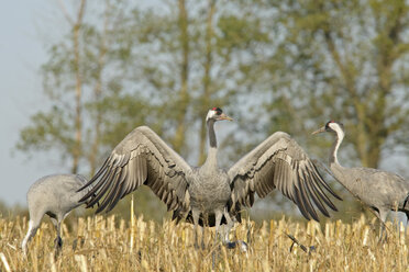 Germany, Mecklenburg-Western Pomerania, Common cranes, Grus grus - HACF000049