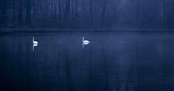 Germany, Bavaria, Swans on lake - FCF000075