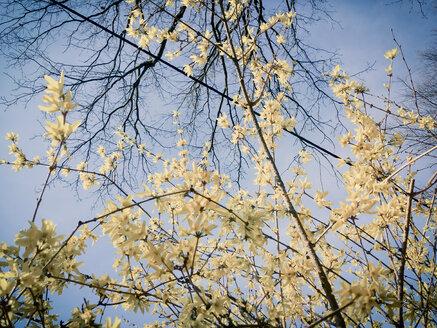 Forsythia, spring, Bush, Saxony, Germany, Forsythia x intermedia, forsythia - MJF001005