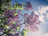 Lilacs, shrubs, Saxony, Germany - MJF001058