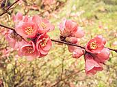 Blossom, Spring, Bush, Saxony, Germany, Japanese Quince, Chaenomeles - MJF001018
