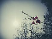 Blossom, Spring, Bush, Saxony, Germany - MJF001016