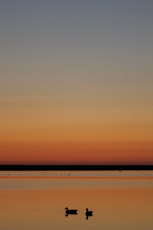 Germany, Schleswig-Holstein, North Sea, Grey geese, Anser anser at sunset - HACF000073