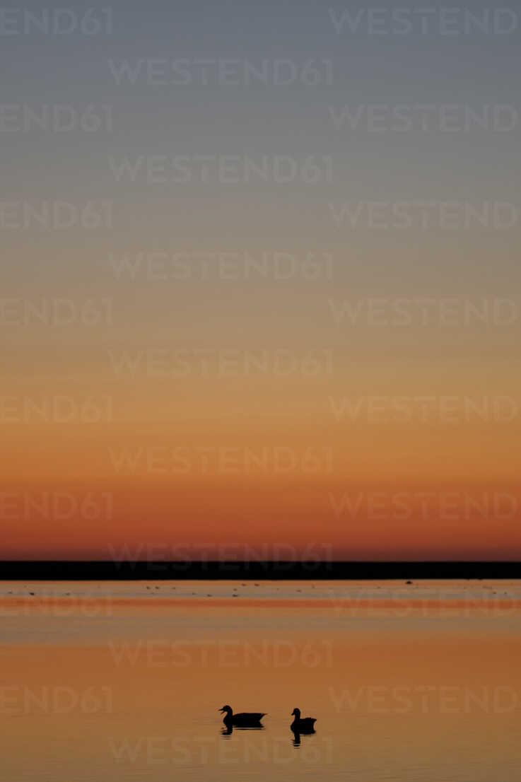 Germany, Schleswig-Holstein, North Sea, Grey geese, Anser anser at sunset - HACF000073 - Hans Clausen/Westend61