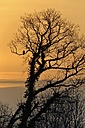 Germany, Schleswig-Holstein, Buzzard, Buteo, in a tree at sunset - HACF000085
