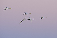 Germany, Schleswig-Holstein, Whooper swans, Cygnus Cygnus, at sunset - HACF000076