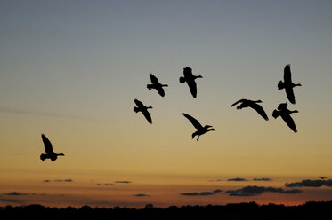 Germany, Mecklenburg-Western Pomerania, Grey geese, Anser anser, at sunset - HACF000078