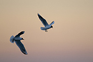 Germany, Schleswig-Holstein, Black-headed gulls, Chroicocephalus ridibundus, at sunset - HACF000080