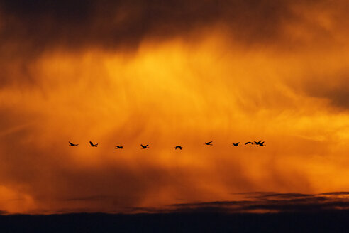 Germany, Mecklenburg-Western Pomerania, Common Cranes, Grus grus, at sunrise - HACF000084