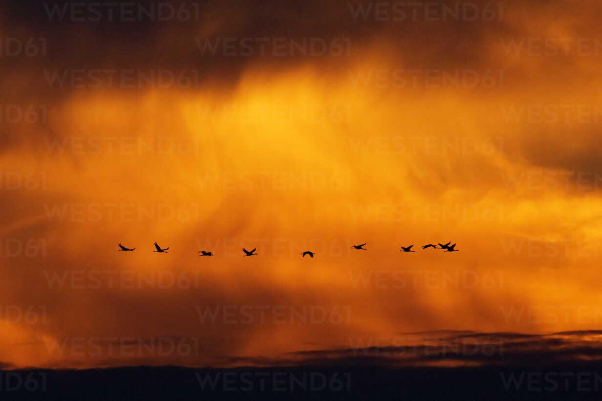 Germany, Mecklenburg-Western Pomerania, Common Cranes, Grus grus, at sunrise - HACF000084 - Hans Clausen/Westend61