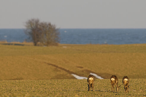 Germany, Schleswig-Holstein, Roe deer on meadow at the coast - HACF000086
