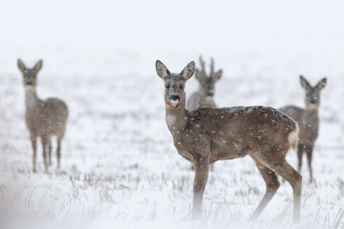 Germany, Schleswig-Holstein, Roe deer in snow - HACF000088