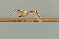 Germany, Schleswig-Holstein, Mute swan, Cygnus olor, flying - HACF000091